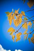 Blue Sky and Aspen Leaves