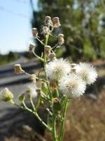 Fluffy road side flowers