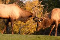 Two Sparring Bull Elk Number 90