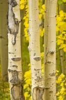 Three Autumn Aspens