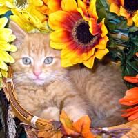 """""""Cute Sunflower Kitty Cat Kitten,Blue Eyes,Portrait"""" by Chantal"""