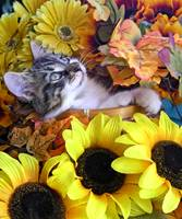 Kitty Cat Kitten Looking Up,Lounging, Fall Flowers