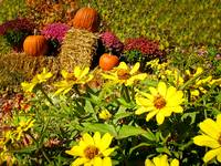 Pumpkins Display,Hay,Yellow Daisies,Burgundy Mums