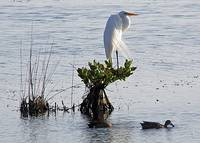 Great Egret - Mating Plumage