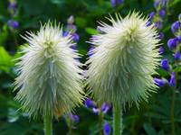 Botanical - Seedhead - Outdoors Floral