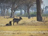 Resting Waterbucks