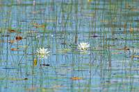 _53F3228c Water lilies