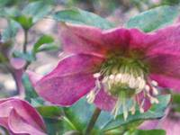Hellebore in the style of Monet