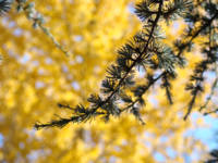 Conifer Pine Tree art prints Yellow Fall Leaves