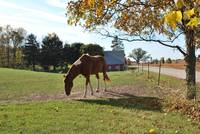 Horse by the Maple Tree