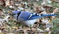 Blue jay with mouth full of corn