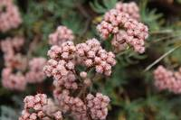 California Buckwheat - Eriogonum arborescens
