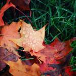 Autumn Leaves: II  Prints & Posters