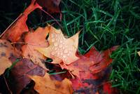 Autumn Leaves: II