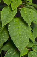 Lush Green Leaves and Rain Drops 2