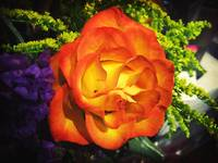 Orange Rose I saw at Kroger