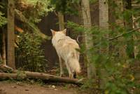 White Wolf in Woods