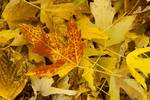 """Fallen Maple Leaves by James """"BO"""" Insogna"""