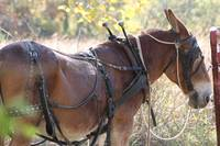 Heritage Mule in Harness
