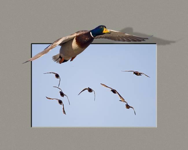 Ducks in Flight Composite-7