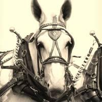 """Percheron Mule"" by kimmerhaw"