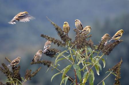 Goldfinch in the Wind