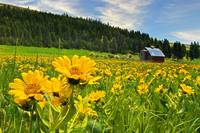 Balsamroot and Barn_Central Washington
