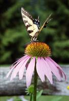 Tiger Swallowtail/Coneflower 1