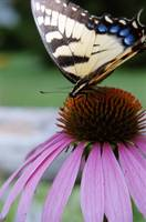 Tiger Swallowtail/Coneflower 3