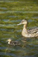 Wild duck with duckling