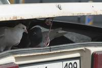 An white pigeon in the car boot