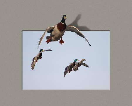 Ducks in Flight Composite-8