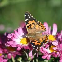 Butterfly American Painted Lady on Pink mums by Karen Adams