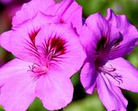 Geranium Close Up