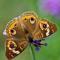Butterfly   Buckeye Butterfly by Karen Adams