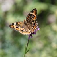 Butterfly   Common Buckeye by Karen Adams