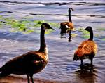 Geese by the Coastline