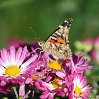 Butterfly  American Painted Lady by Karen Adams