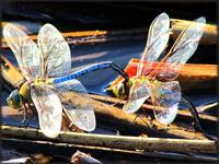 Dragonfly Couple