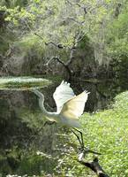 White Heron at Brooker Creek