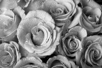 Bouquet of Roses with Water Drops in Black and Whi