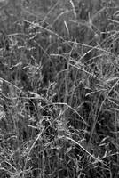 Prairie Grass    1198 Black and White Edition