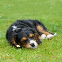 Puppy Asleep with Garden Daisy