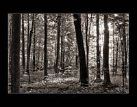 Sacred Grove - Summer, toned b&w