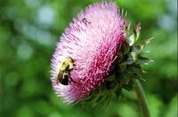 Bumble Bee on Wild Thistle