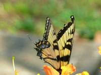 Swallow Tail Butterfly 265