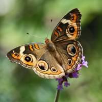 Butterfly  Buckeye close-up by Karen Adams