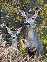 Mule Deer Doe and her Fawn