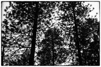 Silhouette of pine trees - black and white