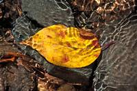 Leaf in Garden Creek